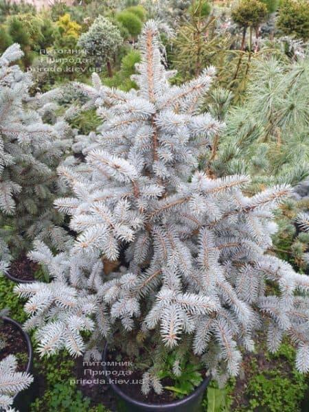 Ялина блакитна Блю Трінкет (Picea pungens Blue Trinket) ФОТО Розплідник рослин Природа (8)