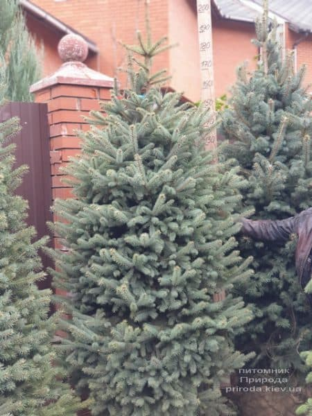 Ялина блакитна Глаука (Picea pungens Glauca) ФОТО Розплідник рослин Природа (123)