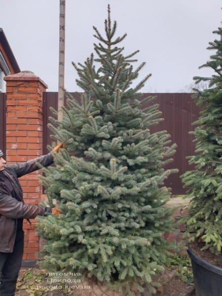 Ялина блакитна Глаука (Picea pungens Glauca) ФОТО Розплідник рослин Природа (126)
