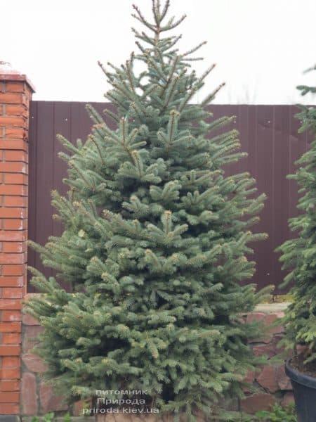 Ялина блакитна Глаука (Picea pungens Glauca) ФОТО Розплідник рослин Природа (127)