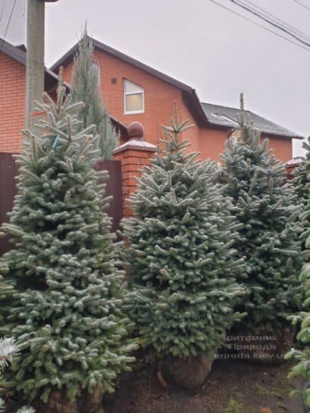 Ялина блакитна Глаука (Picea pungens Glauca) ФОТО Розплідник рослин Природа (128)