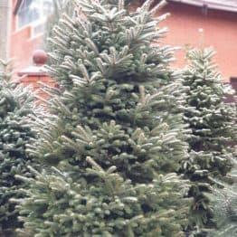 Ель голубая Глаука (Picea pungens Glauca) ФОТО Питомник растений Природа (130)