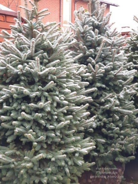 Ялина блакитна Глаука (Picea pungens Glauca) ФОТО Розплідник рослин Природа (132)