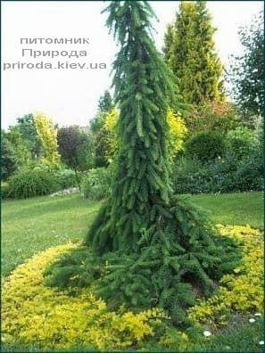 Ялина інверсії (Picea abies Inversa) ФОТО Розплідник рослин Природа (10)
