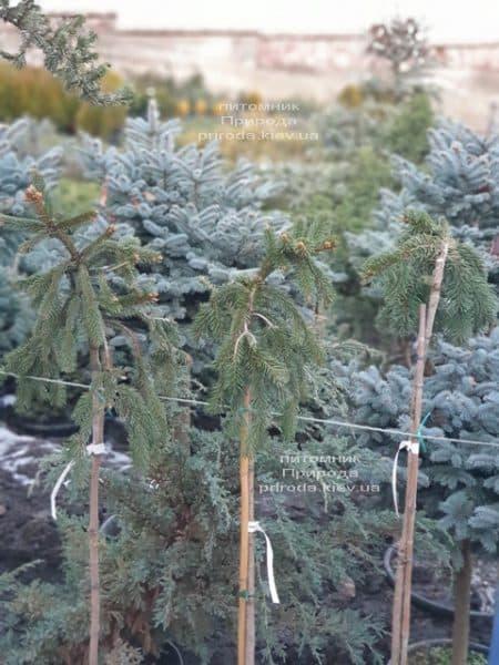 Ель Инверса (Picea abies Inversa) на штамбе ФОТО Питомник растений Природа (4)