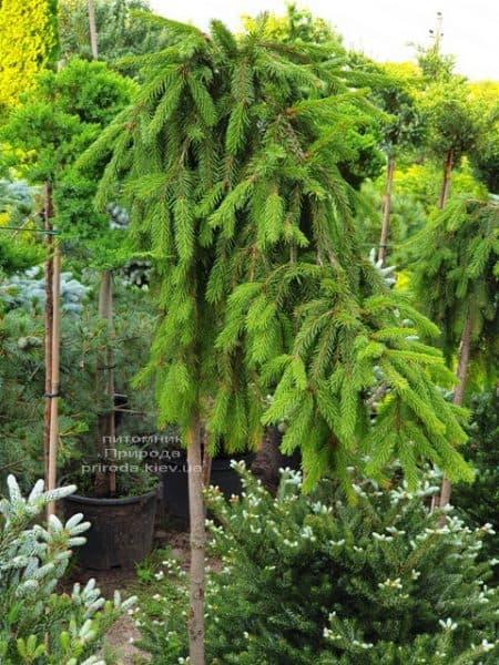 Ель Инверса (Picea abies Inversa) на штамбе ФОТО Питомник растений Природа (5)
