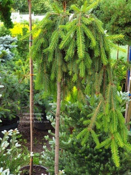Ель Инверса (Picea abies Inversa) на штамбе ФОТО Питомник растений Природа (6)