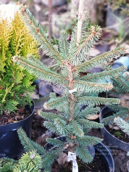 Ялина інверсії (Picea abies Inversa) ФОТО Розплідник рослин Природа (7)