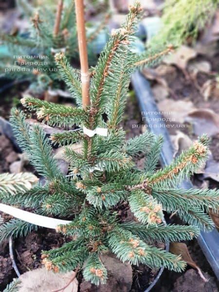 Ялина інверсії (Picea abies Inversa) ФОТО Розплідник рослин Природа (8)