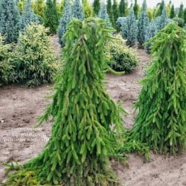 Ель Инверса (Picea abies Inversa) ФОТО Питомник растений Природа (9)