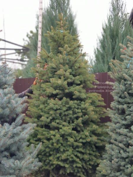 Ель колючая Глаука (Picea pungens Glauca) ФОТО Питомник растений Природа (79)