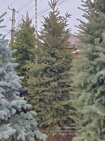 Ялина колюча Глаука (Picea pungens Glauca) ФОТО Розплідник рослин Природа (80)