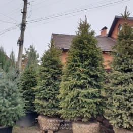 Ель колючая Глаука (Picea pungens Glauca) ФОТО Питомник растений Природа (81)