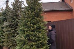 Ель колючая Глаука (Picea pungens Glauca) ФОТО Питомник растений Природа (82)