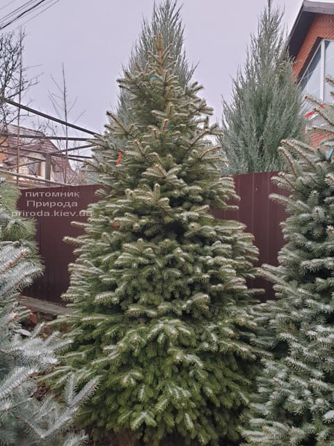 Ялина колюча Глаука (Picea pungens Glauca) ФОТО Розплідник рослин Природа (83)