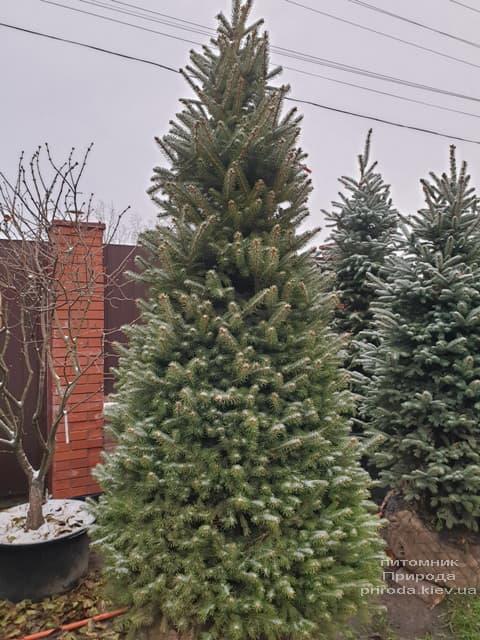 Ялина колюча Глаука (Picea pungens Glauca) ФОТО Розплідник рослин Природа (84)