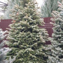Ялина колюча Глаука (Picea pungens Glauca) ФОТО Розплідник рослин Природа (85)