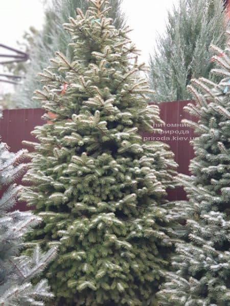 Ель колючая Глаука (Picea pungens Glauca) ФОТО Питомник растений Природа (85)