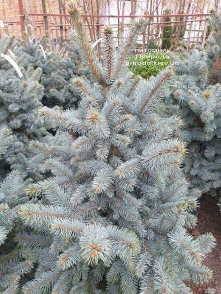 Ялина блакитна Ольденбург (Picea pungens Oldenburg) ФОТО Розплідник рослин Природа