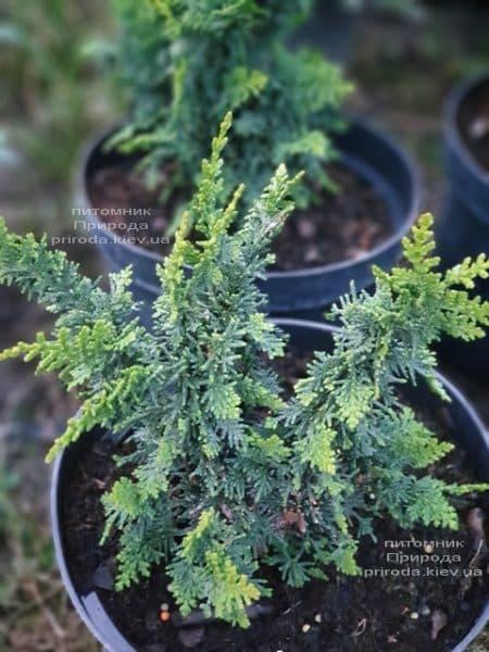 Кипарисовик тупой Тедди Бир (Chamaecyparis obtusa Teddy Bear) ФОТО Питомник растений Природа (1)