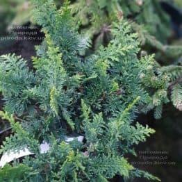 Кипарисовик тупой Тедди Бир (Chamaecyparis obtusa Teddy Bear) ФОТО Питомник растений Природа (3)