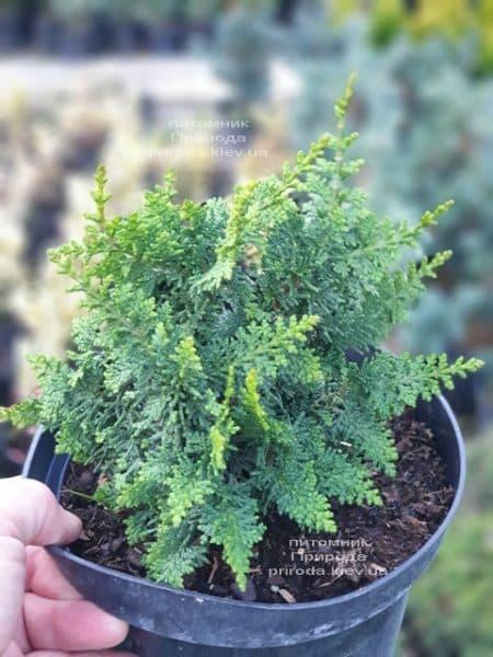 Кипарисовик тупой Тедди Бир (Chamaecyparis obtusa Teddy Bear) ФОТО Питомник растений Природа (4)