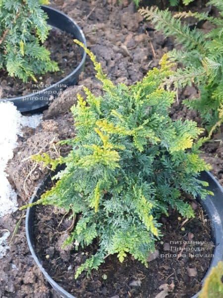 Кипарисовик тупой Тедди Бир (Chamaecyparis obtusa Teddy Bear) ФОТО Питомник растений Природа (7)