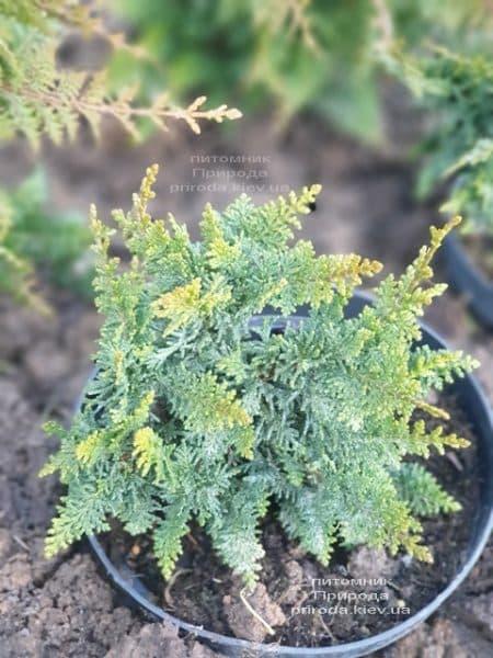 Кипарисовик тупой Тедди Бир (Chamaecyparis obtusa Teddy Bear) ФОТО Питомник растений Природа (9)