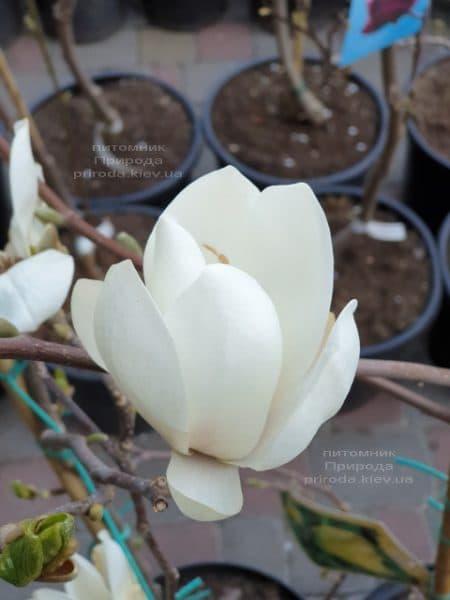 Магнолія Суланжа Альба Суперба (Magnolia soulangeana Alba Superba) ФОТО Розплідник рослин Природа (1)