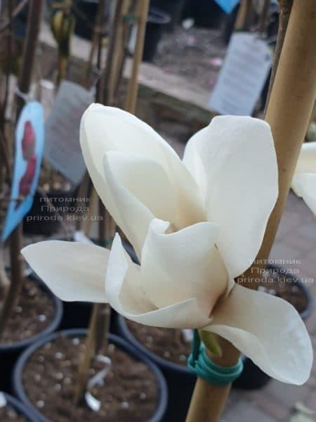 Магнолія Суланжа Альба Суперба (Magnolia soulangeana Alba Superba) ФОТО Розплідник рослин Природа (5)