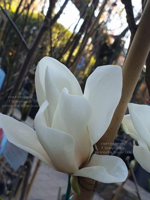 Магнолія Суланжа Альба Суперба (Magnolia soulangeana Alba Superba) ФОТО Розплідник рослин Природа (6)