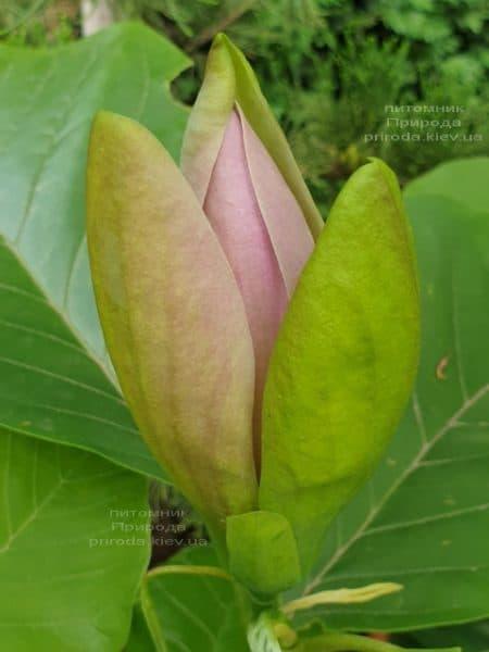 Магнолия бруклинская Вудсмэн (Magnolia brooklynensis Woodsman) ФОТО Питомник растений Природа (1)