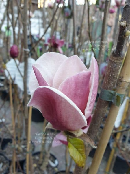 Магнолия Суланжа Камея (Magnolia soulangeana Cameo) ФОТО Питомник растений Природа (1)