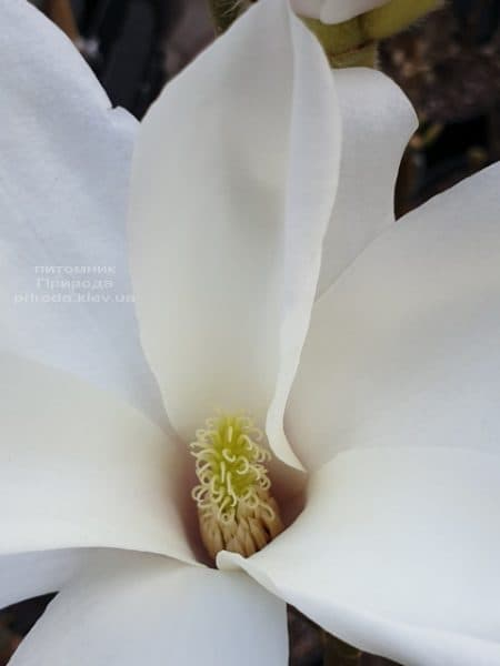 Магнолія Суланжа Санрайс (Magnolia soulangeana Sunrise) ФОТО Розплідник рослин Природа (4)