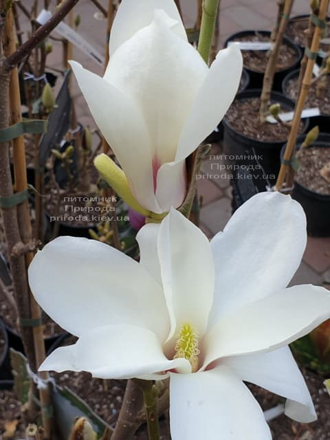 Магнолия Суланжа Санрайс (Magnolia soulangeana Sunrise) ФОТО Питомник растений Природа (5)