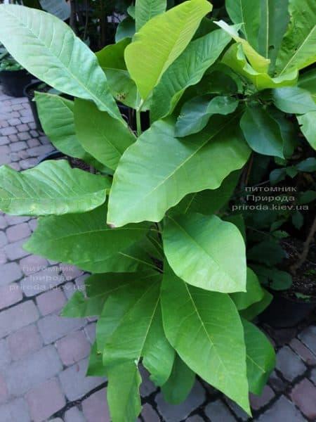 Магнолія трьохлепестна (Magnolia tripetala) ФОТО Розплідник рослин Природа (1)