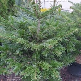Пихта Нордмана (Кавказская) (Abies Nordmanniana) ФОТО Питомник растений Природа (1)