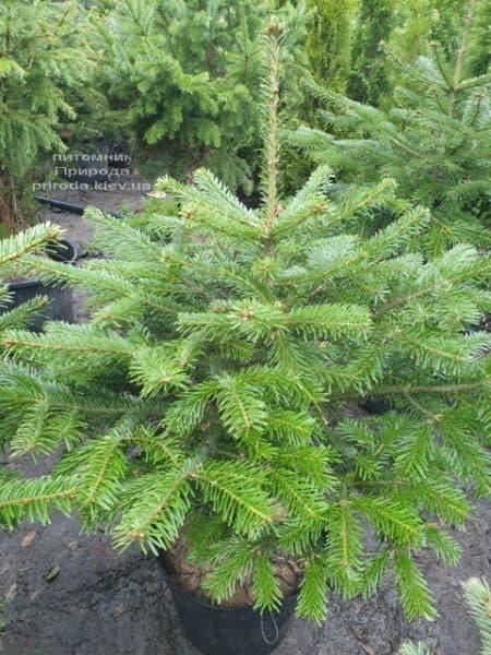Пихта Нордмана (Кавказская) (Abies Nordmanniana) ФОТО Питомник растений Природа (2)