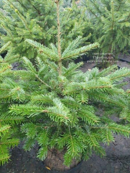 Пихта Нордмана (Кавказская) (Abies Nordmanniana) ФОТО Питомник растений Природа (3)