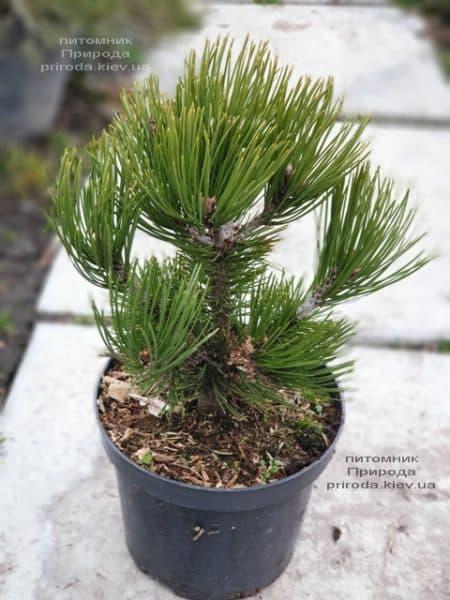 Сосна белокорая (Гельдрейха) Компакт Джем (Pinus leucodermis Compact Gem) ФОТО Питомник растений Природа (1)
