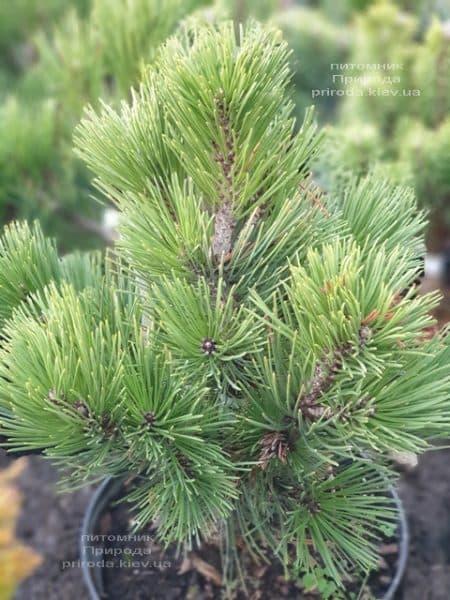 Сосна белокорая (Гельдрейха) Компакт Джем (Pinus leucodermis Compact Gem) ФОТО Питомник растений Природа (5)