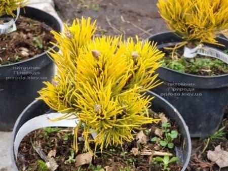 Сосна гірська Карстенс Вінтер Голд (Pinus mugo Carstens Winter Gold) ФОТО Розплідник рослин Природа (1)