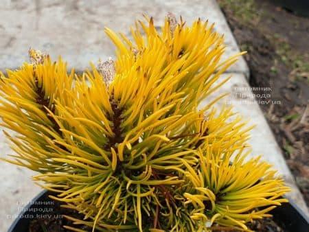 Сосна гірська Карстенс Вінтер Голд (Pinus mugo Carstens Winter Gold) ФОТО Розплідник рослин Природа (3)