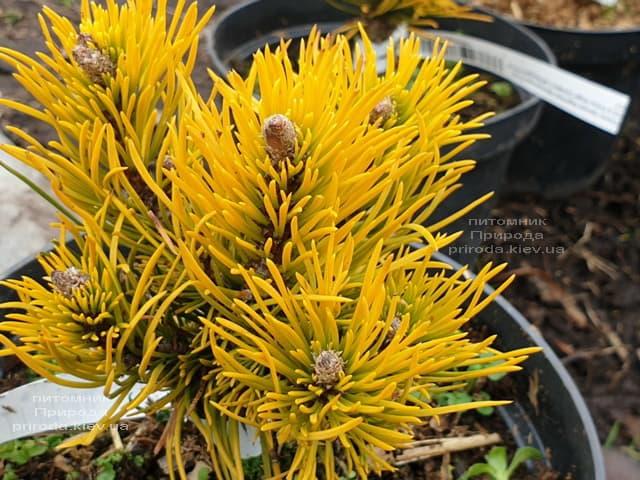 Сосна гірська Карстенс Вінтер Голд (Pinus mugo Carstens Winter Gold) ФОТО Розплідник рослин Природа (4)