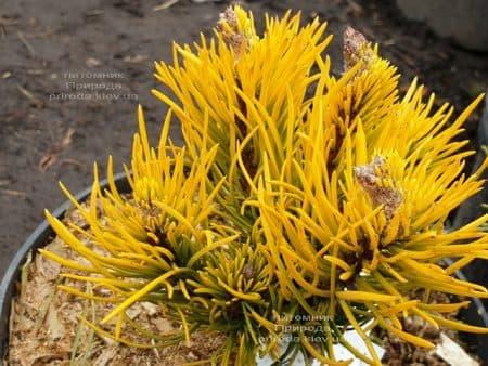 Сосна гірська Карстенс Вінтер Голд (Pinus mugo Carstens Winter Gold) ФОТО Розплідник рослин Природа (5)