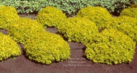 Барбарис Тунберга Голдаліта (Berberis thunbergii Goldalita) ФОТО Розплідник рослин Природа (1)