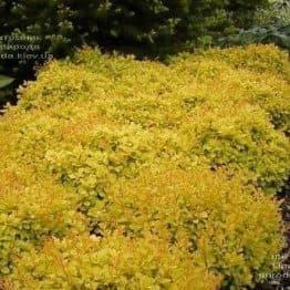Барбарис Тунберга Голдалита (Berberis thunbergii Goldalita) ФОТО Питомник растений Природа (2)