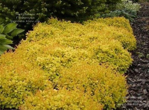 Барбарис Тунберга Голдаліта (Berberis thunbergii Goldalita) ФОТО Розплідник рослин Природа (2)
