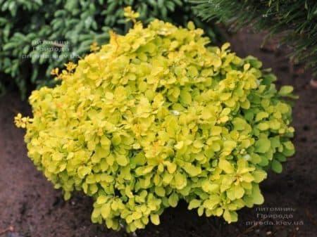 Барбарис Тунберга Голдаліта (Berberis thunbergii Goldalita) ФОТО Розплідник рослин Природа (3)
