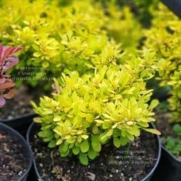 Барбарис Тунберга Голден Девине (Berberis thunbergii Golden Devine) ФОТО Питомник растений Природа (1)